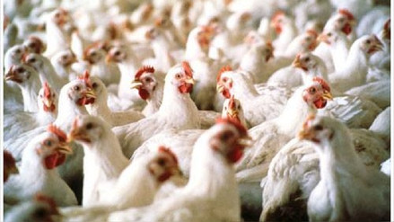 Estrés calórico impacta pequeñas avícolas de Lambayeque