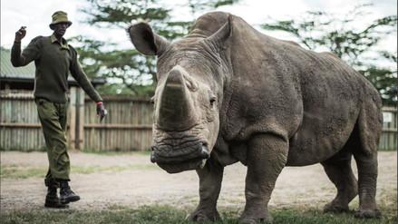Empeora la salud del último rinoceronte blanco del norte del mundo