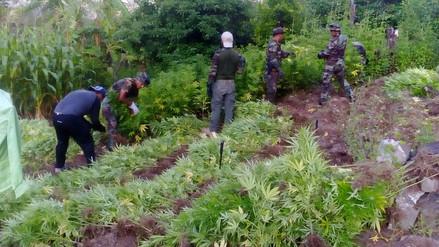 Policía halla 100,000 plantones de marihuana en Ayacucho