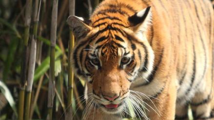 Galería: conoce más de los grandes felinos del planeta