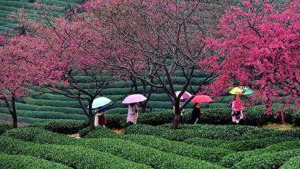 Flores de cerezo cubren extensas regiones del sur de China por la primavera