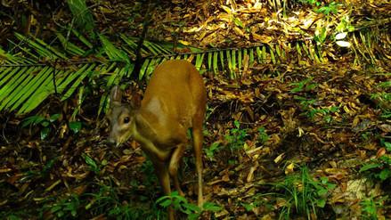 Cámaras trampa en Colombia revelan fascinantes escenas en sus bosques