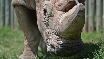 Muere el último rinoceronte blanco del norte macho del mundo