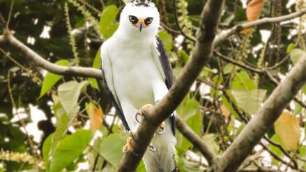 Águila blanca y negra fue registrada por primera vez en reserva de Loreto