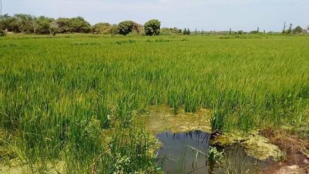 Por escasez de agua se toman nuevas medidas para intentar salvar campaña de arroz
