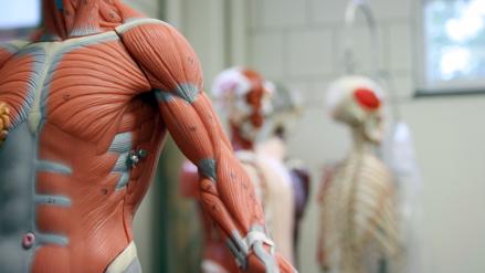 """Científicos descubren el intersticio, un nuevo """"órgano"""" del cuerpo humano"""