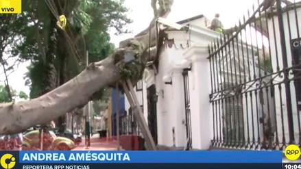 Municipalidad de Barranco negó que el árbol de 100 años se haya caído por trabajos en la zona