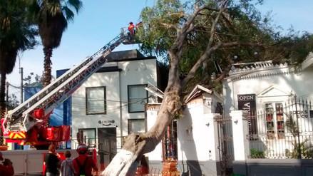 Un árbol de más de 100 años cayó sobre un inmueble en Barranco
