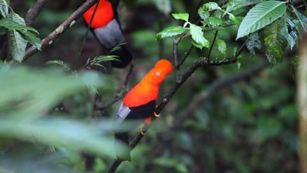 El gallito de las rocas y otras coloridas aves del mundo