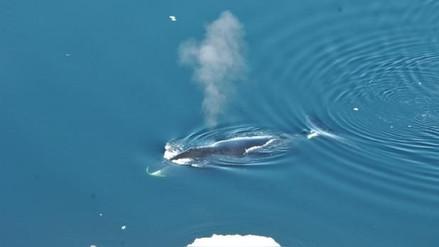 Ballenas boreales son compositoras e intérpretes de una