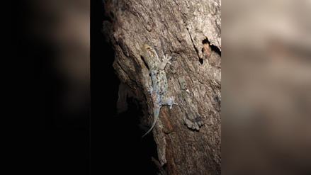 """Un comportamiento extraño: la nueva especie de gecko que se """"desnuda"""" para escapar"""