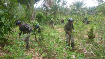 Proyecto Corah erradicó más de 7200 hectáreas de planta de coca ilegal en tres regiones