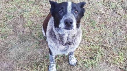 Niña que estuvo perdida en bosque de Australia fue rescatada gracias a un perro anciano