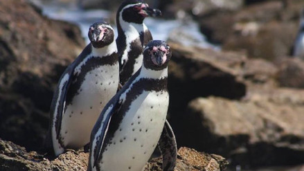 La marcha del pingüino de Humboldt en Punta San Juan