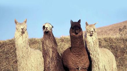 Alpaca Fiesta: 5 mil años de tradición textil se celebrarán en Arequipa
