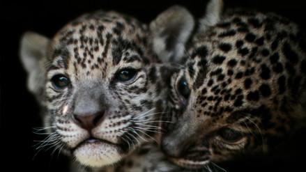Fotos   Zoo mexicano permite a visitantes interactuar con cachorras de jaguar