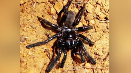 Una araña considerada la más vieja del mundo muere a los 43 años