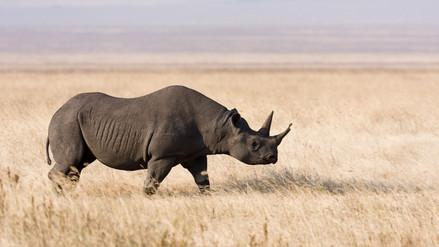 Tres rinocerontes negros en peligro de extinción fueron hallados muertos en Kenia
