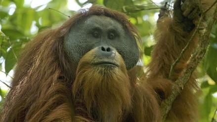 El orangután más raro del mundo está en peligro de desaparecer