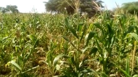 Con un mes de retraso se inició siembra de maíz en el valle Chancay