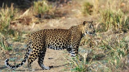 Un leopardo devoró a un niño en un parque natural de Uganda