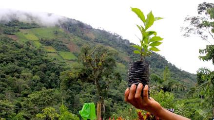 Cultivos de coca devoran uno de los mejores cafés del mundo y entran al Bahuaja Sonene
