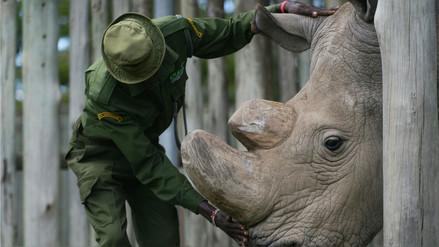 El embarazo de una rinoceronte en un zoológico de EE.UU. puede salvar una subespecie