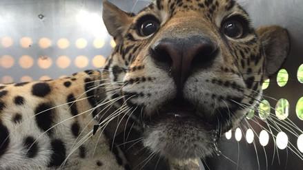 Jaguar víctima de cacería ilegal en Ecuador regresó sana a la selva tras superar operaciones