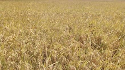 La región Lambayeque estima producir 350 000 toneladas de arroz