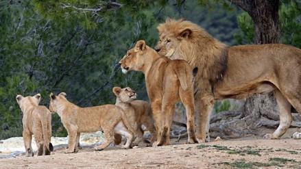 Nueve leones fueron envenenados en el parque de Serengeti en Tanzania