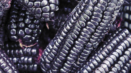 Aflatoxina, la toxina cancerígena presente en el maíz morado contaminado por hongos
