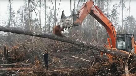 Video | Orangután se enfrentó a una excavadora que destruía su hábitat en Indonesia