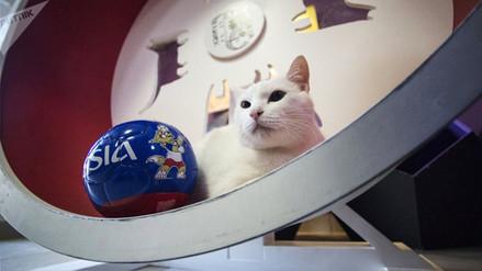 Aquiles, el gato sordo que intentará ser el 'Pulpo Paul' de Rusia 2018