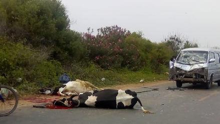 Combi choca y mata a tres vacas en la carretera Eten –Monsefú