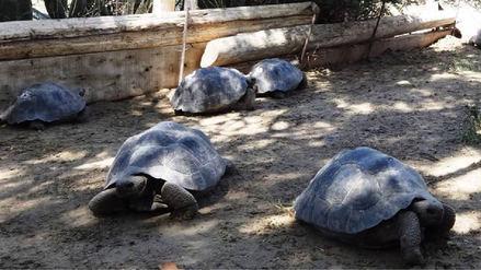 Ecuador recuperó 26 tortugas de Galápagos que estuvieron en manos de traficantes en Perú