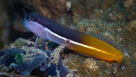 Secretos del mar: hallan nueve posibles nuevas especies de peces de arrecife en Papúa Occidental