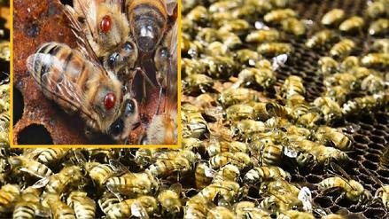 Importación de abejas con Loque Americana pone en riesgo la apicultura