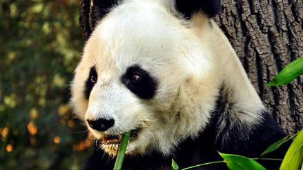 Hallan restos de un panda gigante de 22,000 años de antigüedad