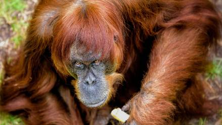 Muere en un zoológico de Australia el orangután más viejo del mundo a los 62 años