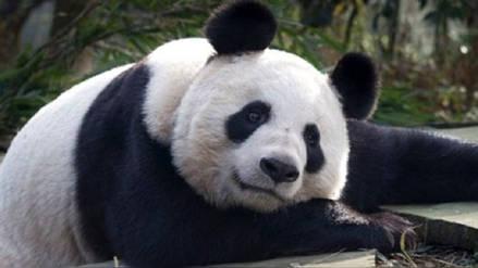 Zoológico chino despidió a trabajador por maltratar a un oso panda