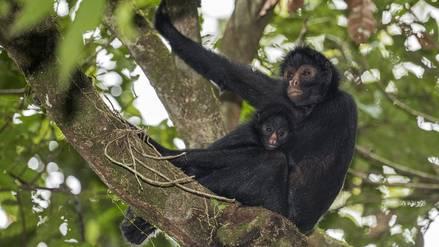 El mono araña regresa a su casa en Tambopata