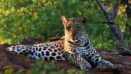 Dos hombres detenidos en Sri Lanka por matar a un leopardo