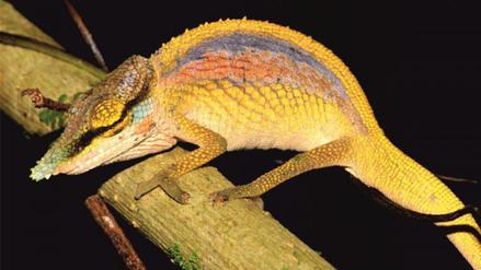 """El camaleón """"arcoíris"""" es una de las tres nuevas especies descritas en Madagascar"""