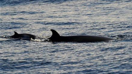 Japón quiere reanudar la caza comercial de ballenas luego de 30 años