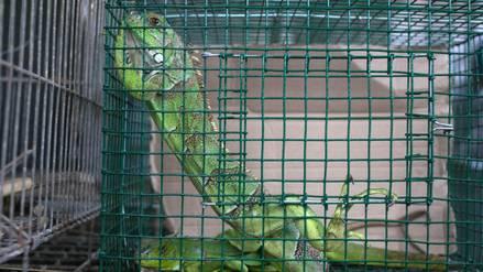 Tráfico de fauna: estos son los reptiles más amenazados en el Perú