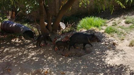 Celebran con fiesta infantil el bautizo de dos sajinos en zoológico de Huancayo
