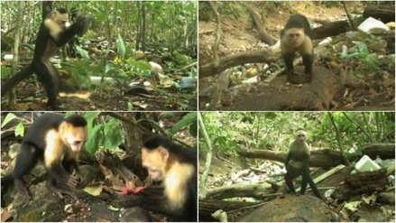 Monos capuchinos gráciles en Panamá dan signos de haber pasado a la Edad de Piedra