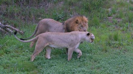 Dos cazadores furtivos murieron devorados por leones en Sudáfrica