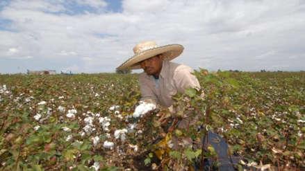Reportan incremento de siembra de algodón para la presente campaña