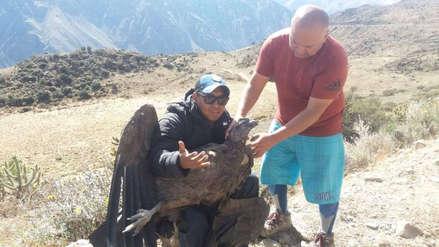 Arequipa: Un cóndor resultó herido tras chocar con un poste de alta tensión